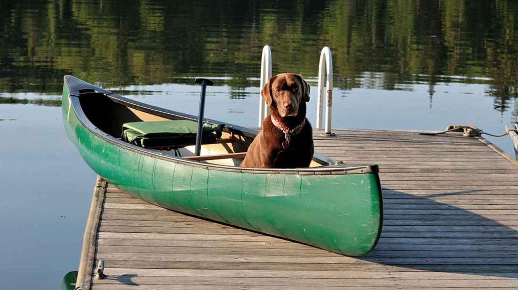 chocolate lab dog in canoe