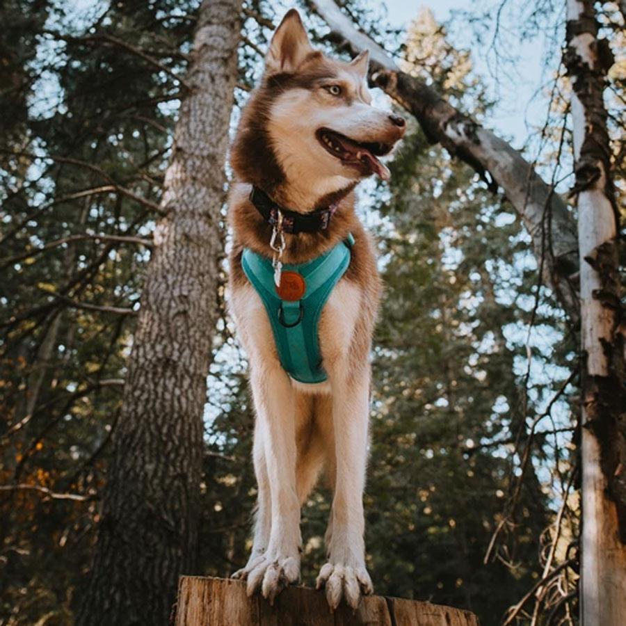 dog, adventure, teal, olive