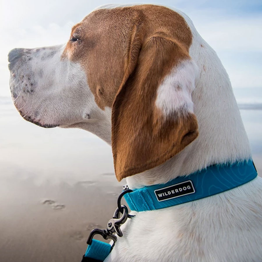 A dog wearing an Teal Blue colored waterproof collar by Wilderdog