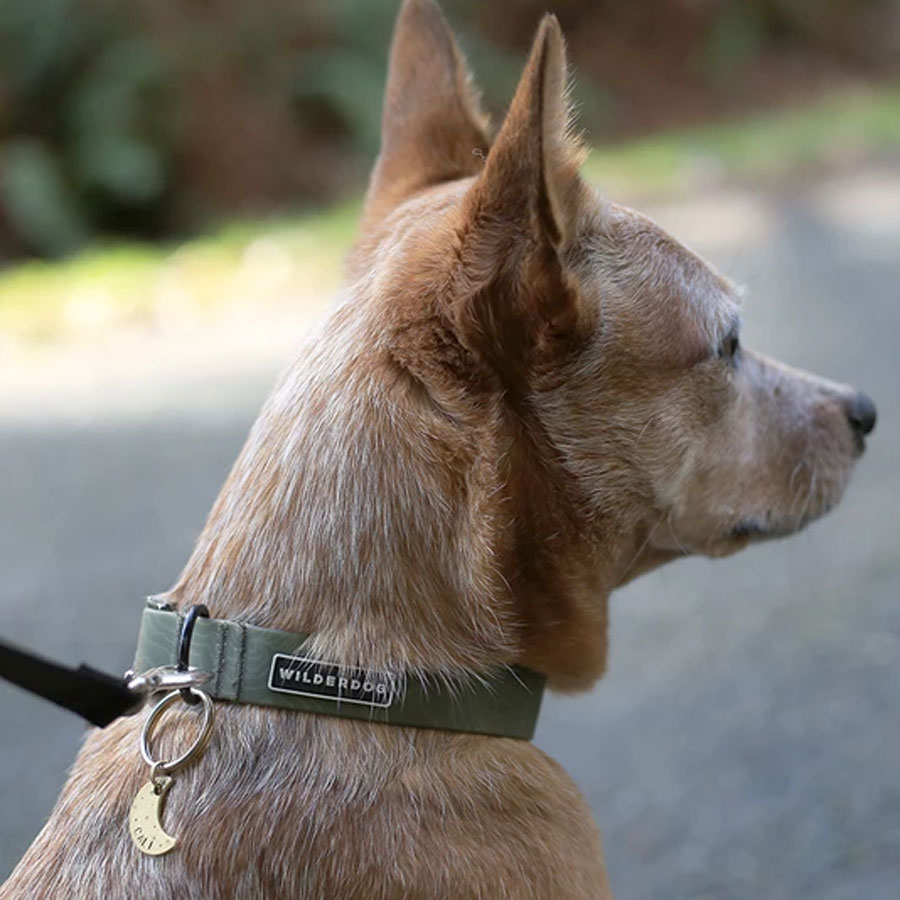 A dog wearing an olive colored waterproof collar by Wilderdog