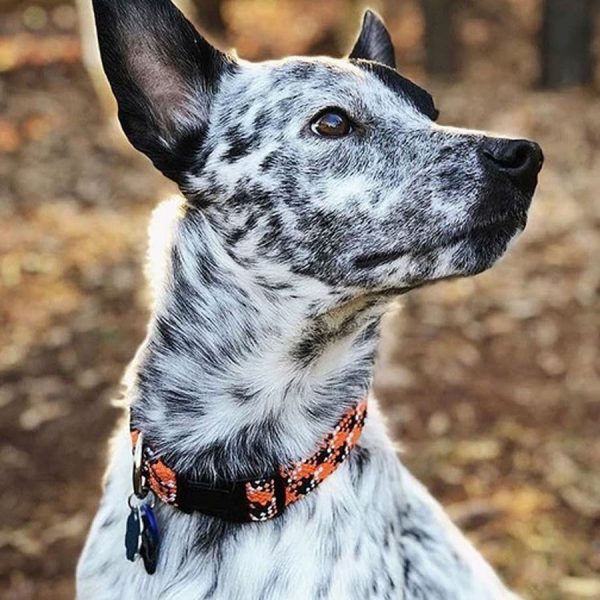 Collar made of climbing rope with a easy clip buckle on a dog